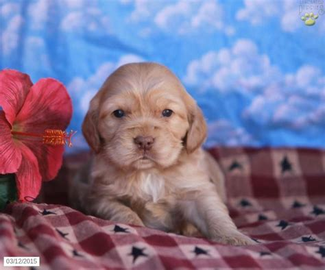 golden cocker retriever for sale in pa 31 best images about cocker spaniel on