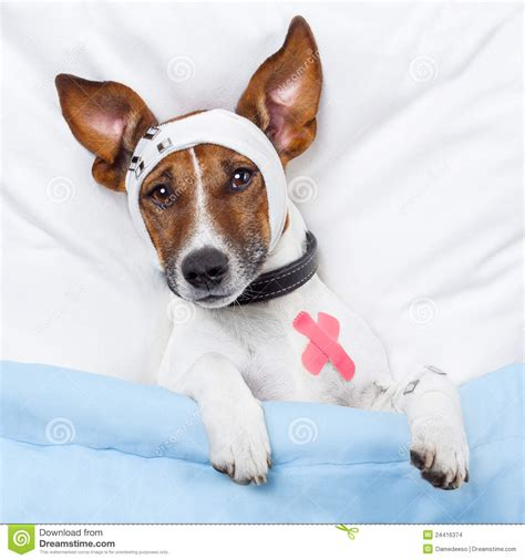 puppy sickness sick stock images image 24416374