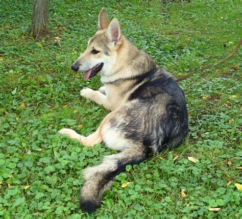 wolf dogs for sale wolf dogs for sale in ohio breeds picture