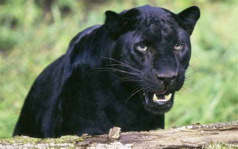 black jaguar panther power on pinterest black panthers panthers and