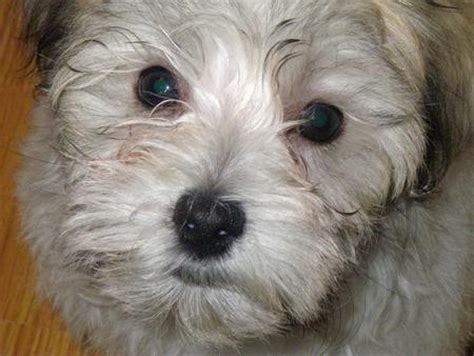 how big do havanese get the pomeranianchihuahua mix dogs daily puppy breeds picture