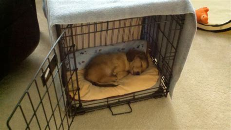 kennel size for golden retriever size of crate for a golden retriever dogs in our photo