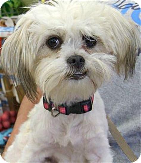 shih tzu rescue ct sweet pea adopted puppy waterbury ct shih tzu mix