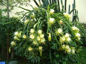 Pitaya gardening pinterest