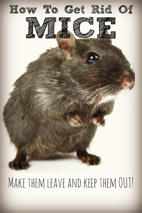 1000 ideas about getting rid of mice on