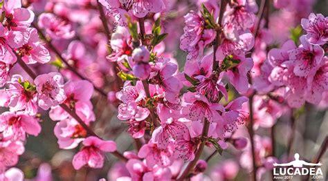 rosa fiori fiori rosa un intero albero di fiori spettacolari