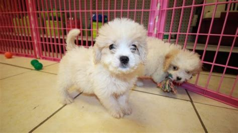 cavapoo puppies for sale in ga sweet cavapoo puppies for sale in atlanta ga at puppies for sale local breeders