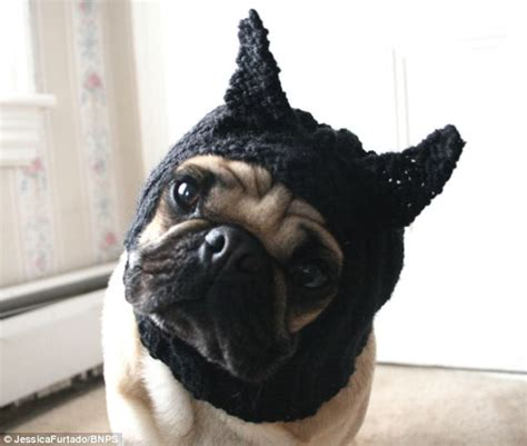 bat pug as if they weren t enough already student starts new pugs in