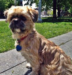 how much does a shih tzu puppy cost 1000 images about shih tzu on shih tzu breeds and paws rescue