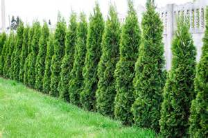 best plants for privacy fences in connecticut