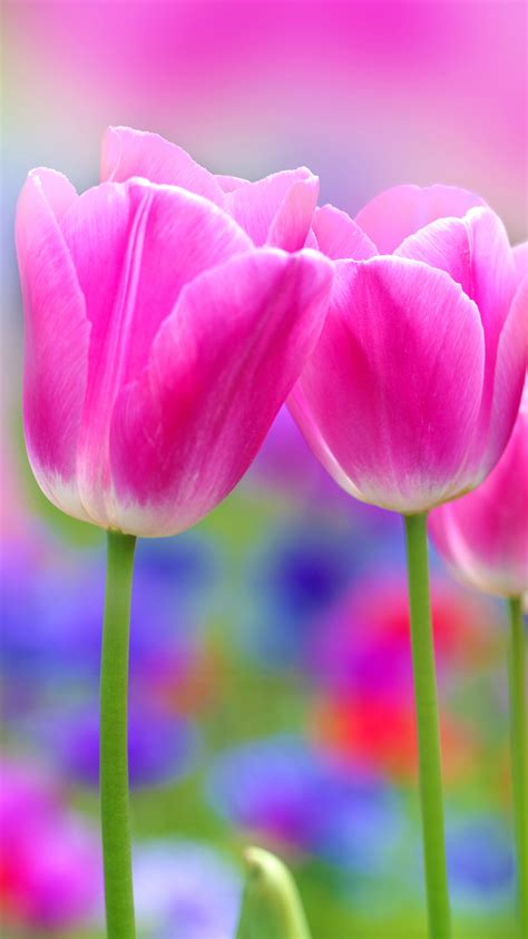apple iphone  wallpaper  pink tulips flower hd