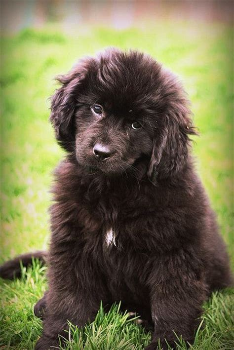 how much are newfoundland puppies newfoundland newfoundland and pets