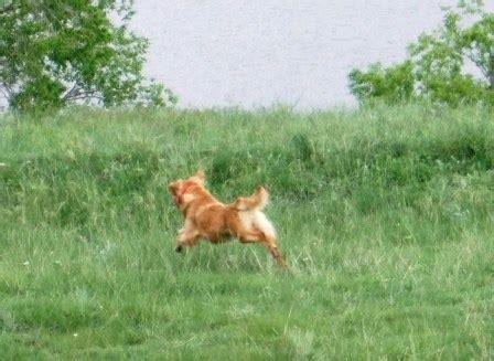 powderhorn golden retrievers wildhorn golden retrievers colorado