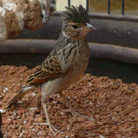 Pakan Branjangan menjinakan burung branjangan kicau