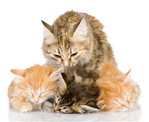 wann werden katzen geboren tr 228 chtigkeit und geburt bei katzen markt de