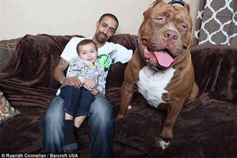 mujer con un perro mas grande fotos de hulk el pit bull m 225 s grande del mundo schnauzi com