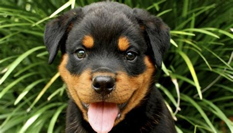 facts about rottweiler puppies 5 facts about rottweilers barks neighbors complain pitbull aggressive breeds