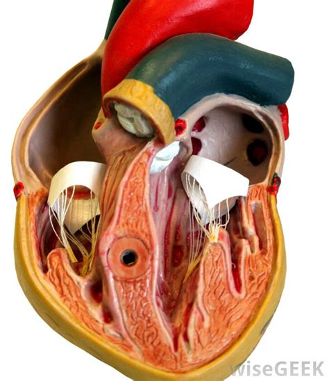 human heart cross section what is venous return with pictures