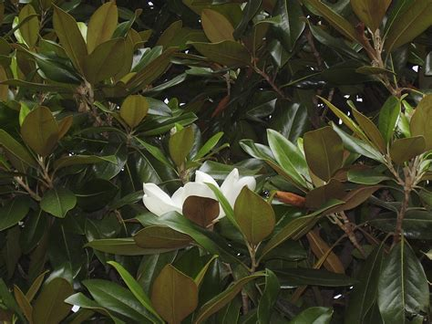the gallery for gt evergreen magnolia tree types