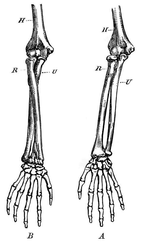 forearm bones clipart