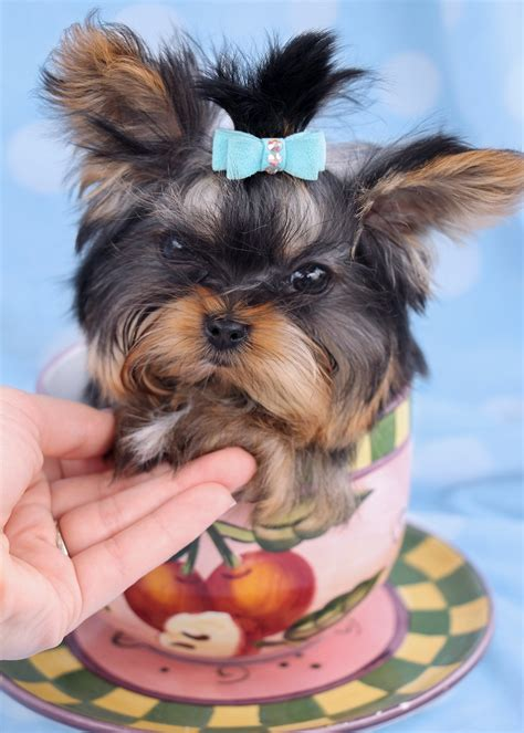 teacup yorkie florida beautiful teacup yorkie puppies miami ft lauderdale area teacups puppies boutique