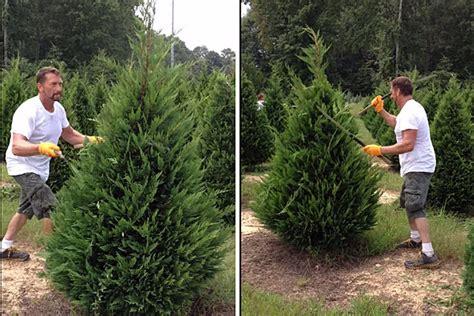 covington christmas tree farm this trim trees like a