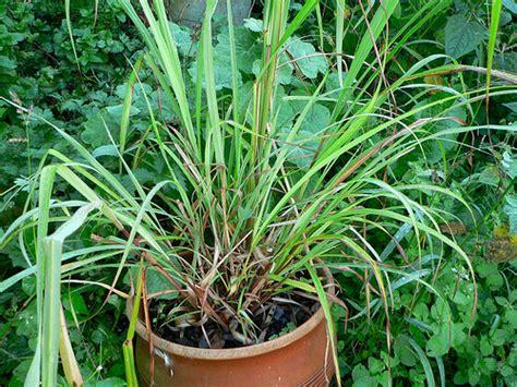 citronella plant care garden guides