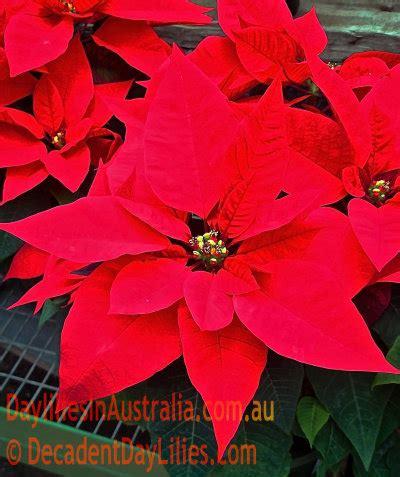 dwarf poinsettia christmas flowers daylilies in australia