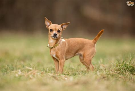 breeds d chihuahua breed information buying advice photos and facts pets4homes