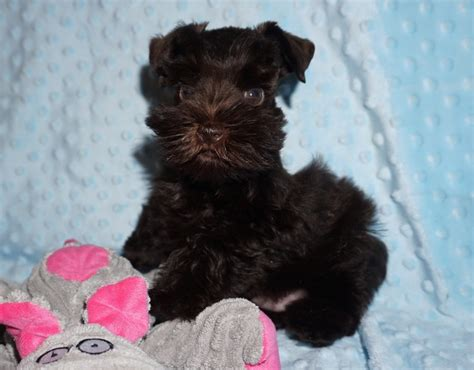 schnauzer puppies for adoption teacup and miniature schnauzer puppies for sale