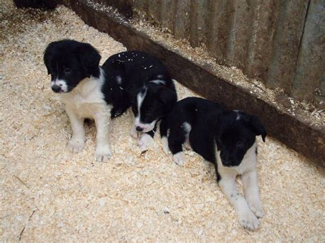collie dogs collie x lurcher puppies caersws powys pets4homes
