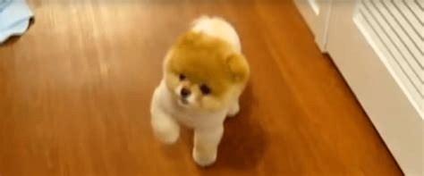 fluffiest puppies adorable puppy just might be world s fluffiest