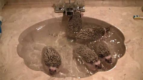 bath time for 9 week pygmy hedgehogs baby hedgehogs taking a bath