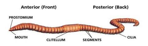 earthworm dissection classification animals latodami nature center