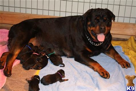 rottweiler puppies washington rottweiler breeders the rottweiler chronicle autos post