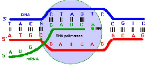cadena molde de adn transcripcion problemas de 225 cidos nucleicos y material gen 233 tico