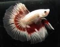 betta losing color betta fish care