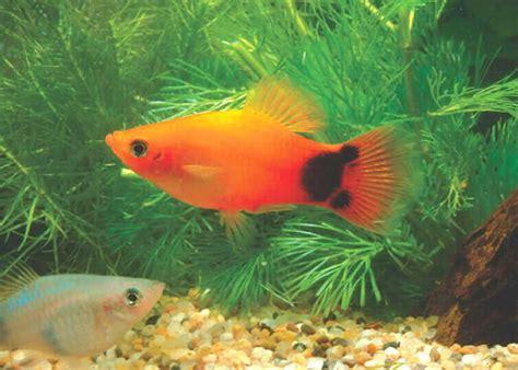 gambar ikan hiasan akuarium kemahiran hidup