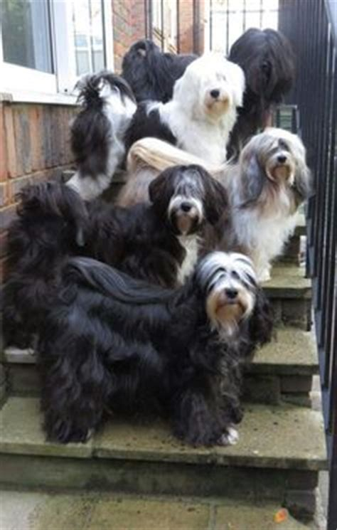 hair cuts for the tebelan terrier tibetan terrier pet trim grooming style portfolio
