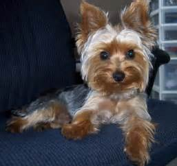 house a yorkie puppy carthageagriculture terrier 4