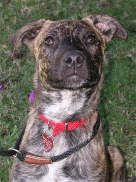 brindle breeds all about the australian brindle hound photos of brindle hounds