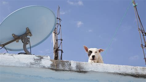 dog on a roof roof dogs the new york times