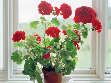 geraniums pictures photos and images for facebook tumblr pinterest and twitter