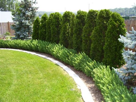 backyard privacy trees best landscaping along fence ideas on pinterest