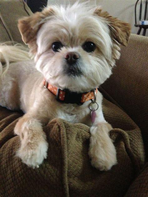 why has my maltese terrier got thin hair peekapoo cute haircut for lucy puppy pinterest