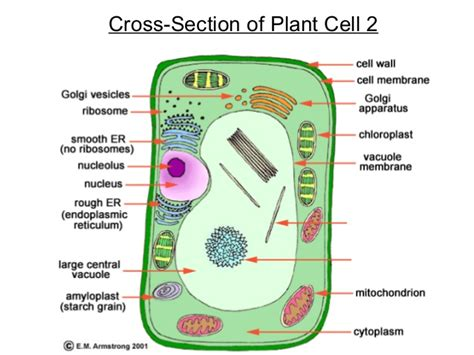 cross section of an plant cell cross section of plant and animal cell