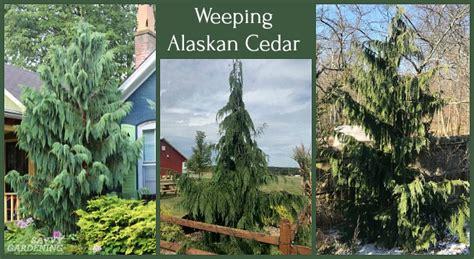 weeping alaskan cedar  elegant easy  grow evergreen tree