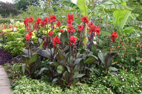 4 6foot tall black knight canna bulb plant in garden or pond hummingbird delight ebay
