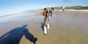 two legged boxer dog s first beach trip is jealousy