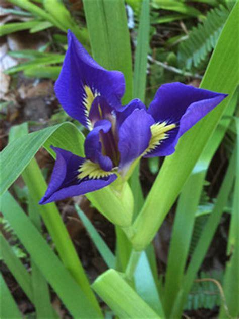 blue flag iris university  florida institute  food